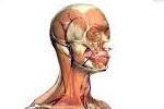 El cuerpo humano en 3D. Zygote Body