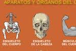 Aparatos y órganos del cuerpo humano.